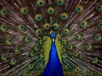 L'immagine mostra un pavoe che con la sua corona di piume nere costellate di macchie multicolore, occupa tutto lo sfondo. In primo piano, il corpo ed il collo blu dell'animale dividono quasi in due lo schermo