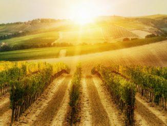 un insieme di filari di vigna al tramonto nella cornice della campagna toscana