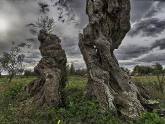 due tronchi di ulivi in primo piano, sullo sfondo ulivi verdi e cielo grigio solcato da nuvole
